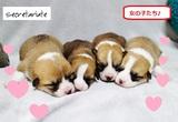 ☆コーギーのとっても可愛い子犬たち♪生まれました!
