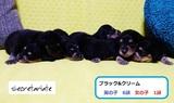 純血英国系☆可愛いMダックスの赤ちゃんが生まれました!