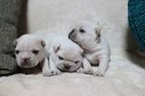 ◎可愛いクリームの子犬が生まれました!!