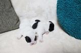 ☆フレンチブルドッグ!可愛いパイドの赤ちゃん生まれました!